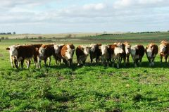 Quality Uruguayan beef is from cattle fed mainly on natural grassland. Photos: MercoPress